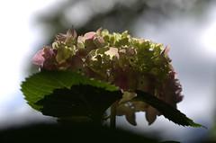 IMG_8704.CR2 (jalexartis) Tags: flowers flower spring bloom hydrangea blooms shrub shrubbery pinkhydrangea