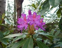 Rhododendron ponticum (SAMARA:) Tags: forest scotland glentrool rhododendronponticum