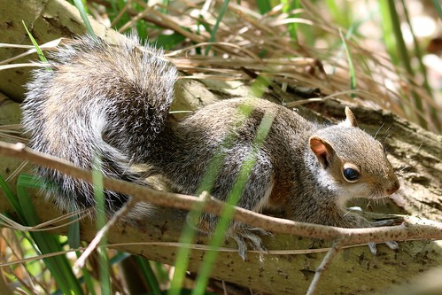 baby grey squirrel