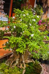 little tree (Sam Scholes) Tags: shopping bedugul market vacation indonesia bali travel baturiti id