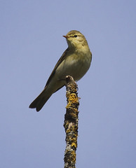 Photo of Willow Warbler