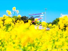 () Tags: macro japan 50mm bokeh olympus zuiko omd rapeseed  em1 m43 rapeseedfield     micro43 microfourthirds  olympusem1
