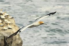 Gannet in Flight (robertdownie) Tags: ocean sea newzealand seascape bird water birds coast rocks waves zealand northisland chicks gannet muriwai morusserrator australasiangannets aucklandcolony