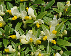 Polygala chamaebuxus (Todd Boland) Tags: flowers polygala