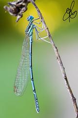 Sotto i riflettori (Torchia Marco) Tags: macro nikon sigma natura azzurro colori f28 libellula sfocato 105mm d7200