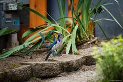 Most Beautiful Blue Jay (nansiejo) Tags: bird ballard scrubjay