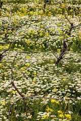 IMG_9712-1 (Andre56154) Tags: italien flowers italy flower wine felder blumen fields sicily blume wein blten rebe sizilien weinbau grnland