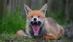 A big yawn for a sleepy boy (lisheeny) Tags: red wildlife ngc fox british vulpine vulpes keeptheban
