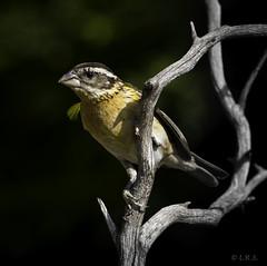 Black-headed Grosebeak (soquel girl) Tags: blackheadedgrosbeak backyardbirds migratorybirds birdonperch santcruzca