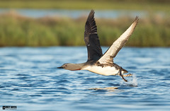 Red-throated-loon (Corey Hayes) Tags: loon wild pond take off flight bif nature iceland breeding coreyhayes
