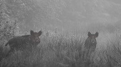 Jour de brouillard 3 (Eric Penet) Tags: wild france nature animal fog forest mammal wildlife mai boar printemps brouillard fort nord mammifre sauvage faune sanglier laie avesnois mormal locquignol