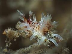 Nudibranch (Okenia harastii) (Brian Mayes) Tags: canon underwater australia scuba diving nudibranch nelsonbay 1735 g16 flypoint brianmayes canong16 okeniaharastii