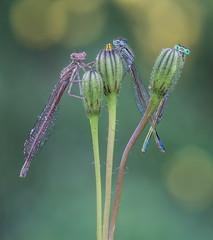 Tridente diabolico (Masaco76) Tags: flowers macro bug flor insecto macrofotografia macronature macromondays caballitosdeldiablo macrodreams