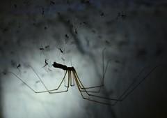 mother and babies (3) - cellar spider, Pholcus phalangioides (willjatkins) Tags: macro closeup spider spiders arachnid arachnids britishwildlife housespider pholcus pholcusphalangioides cellarspider sigma105mm macrospider wildlifeinthehome ukwildlife britishspider britishspiders closeupwildlife macrowildlife ukspider ukspiders ukarachnids nikond7100 housewildlife britisharachnids ukinvertebrates cellarwildlife