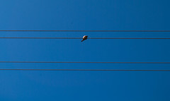Bird (modestmoze) Tags: blue sky brown white black bird nature lines animal outside outdoors four one spring warm day alone sitting view may sunny fresh wires electricity hanging middle lithuania 2016 alytus 500px