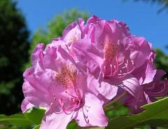backyard Rhodo (karma (Karen)) Tags: baltimore maryland home backyard plants rhododendrons blossoms macros dof bokeh 4spring cmwd topf25