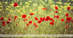 Poppies Blowing in the Wind II (go18lf2004) Tags: flowers plants poppies wild reds yellows fields light colour beautfy sussex depthoffield motionblur photography canon creative mood atmosphere serene calming growth nature contrasts meadows pastures countryside