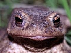 namitne abie usta // passionate frog lips (stempel*) Tags: polska poland polen polonia gambezia pentax k30 50mm usta lips mouth aba frog macro makro