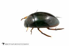 Water Scavenger Beetle (Tropisternus blatchleyi) 20160618_4945.jpg (Abbott Nature Photography) Tags: animals us unitedstates alabama gordo hexapoda polyphaga insectainsects coleopterabeetle arthropodaarthropods organismseukaryotes invertebratainvertebrates hydrophilidaewaterscavengingbeetles