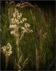 grasses (GH_DSLR) Tags: macro grass closeup outdoor grasses hss on1 slidersunday