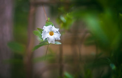 Floating Flower (oliemackeral) Tags: mandevilla apocynaceae white green leaves vine southwest us nature east texas humid hot perennial