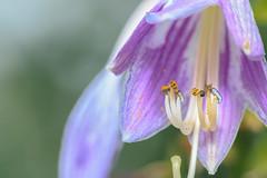 """Flower-3793.jpg (""""Bert"""" Brady) Tags: summer plants flower macro nature outdoors petals stem pollen 2016"""