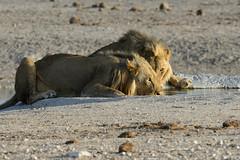 The stare (africadunc) Tags: intense lion drinking stare males namibia etosha nebrownii lionmakenebrowniietoshastaredrinkingwaterholepairnamibiaokaukuejowhitecalcrete