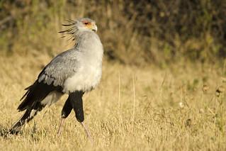 Secretary Bird - Sagittarius serpetarius