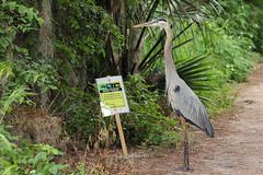 Great Blue Heron Learning To Read (Robert F. Carter Travels) Tags: signs heron birds sign reading read wetlands marsh greatblueheron herons wetland marshes ardeaherodias circlebbarreserve