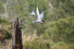 _DSC8645 (Carmen Coronado) Tags: naturaleza valencia fauna pjaros albufera sigma150500f563apodgos nikond750