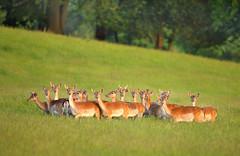 Wild Fallow Deer Herd (Alan MacKenzie) Tags: nature field animals forest woodland sussex wildlife deer fallow