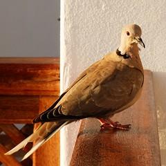 Hasta la vuelta,amigos (nuska2008) Tags: naturaleza flickr pigeon lanzarote paloma aves select colomba tórtola tórtolaturca nuska2008 olympussz30mr nanebotas