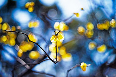 Scent of Spring (moaan) Tags: life leica digital 50mm dof blossom bokeh dr summicron smell utata blossoming february winer ume 2012 素心蝋梅 chimonanthuspraecox m9 wintersweet 蝋梅 f20 umeblossom sweetsmell inlife leicasummicron50mmf20dr leicam9