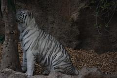 white tiger (Linmao?) (Olaya Garcia) Tags: white blanco canon island eos tiger canarias lp tenerife canary tigris tigre whitetiger teneriffe loroparque panthera pantheratigris tigreblanco 1000d