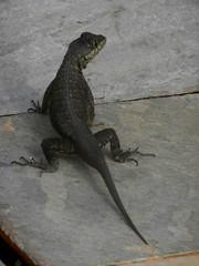 calango (Fortaleza report) Tags: brasil lagarto lucertola calango rettile cear