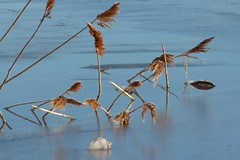 (evisdotter) Tags: winter ice reed nature reflections frost vass