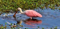 Spoonie @CBBR - IMG_9680 60D (Brandohl Photography [Wendy]) Tags: pink bird animal wildlife reserve wetlands marsh spoonbills roseate thewonderfulworldofbirds circlebbarreserve