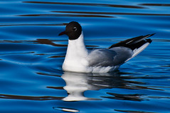 Black-headed Gull (Anzil) Tags: vienna wien blue winter sky blur bird birds set photography austria evening march fly frozen österreich spring nikon flickr dof view pages fb group award e views page contacts contact awards feb nikkor 70300mm sets danube märz comments vr comment seconds groups 2012 facebook donau telelens nikkorlens d90 f3556 anzil brokeh nikond90 nikkor70300mmvr 70300mmvr nikon70300mmvr frozenseconds nikkor70300mmvrf3556 nikon70300mmvrf3556