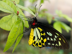 Butterfly (Barry Lloyd) Tags: macro pen butterfly insect four olympus thirds epl1