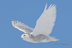 Harfang des neiges / Bubo scandiacus / Snowy owl (RichardDumoulin) Tags: winter snow snowy hiver québec owl snowowl snowyowl neiges harfang buboscandiacus harfangdesneiges canon500f4 snowyowlinflight canon1dmk4 harfangdesneigesenvol