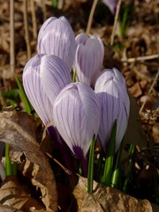 Striped Crocuses (Dendroica cerulea) Tags: winter flower garden newjersey stem nj crocus shoots highlandpark sprouts iridaceae middlesexcounty asparagales crocoideae