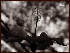 Sometimes just looking up and seeing the light is enough.  ~Terri Guillemets (Vidya...) Tags: light sun macro nature sepia garden dark glow stamens hibiscus tip bloom rays setting