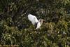 IMG_5751L (Sharad Medhavi) Tags: bird canoneod50d mangomistresortkarnatakastatehighway87