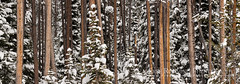Winter Trees Panorama Abstract (Free Roaming Photography) Tags: trees winter panorama usa snow abstract mountains cold west tree pine forest nationalpark woods panoramic western northamerica wyoming spruce grandteton grandtetonnationalpark flaggranch