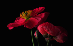 Icelandic Poppies Trio (Bill Gracey) Tags: lighting flowers light red flower macro green fleur colors photography shadows flash flor shapes salmon textures softbox icelandicpoppy cls studiolighting macrolens macrophotography mohn homestudio strobes amapolas coquelicots dire