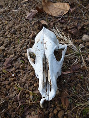 Skull of a Dog at Jungle (Hk the Ameture) Tags: sunset hk skull jungle riverbank igit brahmani thebrahmani igitcampus igitclicks hktheameture