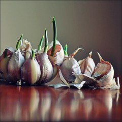 . sprouts . (susanonline (busy these days)) Tags: reflections garlic sprout squarecrop sprouting susanonline