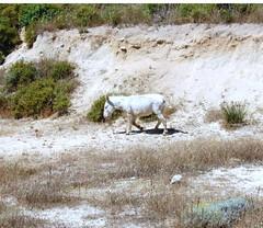 Asinara..albino (yokopakumayoko) Tags: asini bianchi albini sardegna asinara isola carcere parco anawesomeshot animalidellasardegna
