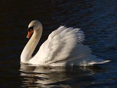 Mute Swan (Megashorts) Tags: uk england male bird swan olympus gloucestershire wetlands trust e3 cob 50200mm zuiko mute swd slimbridge wildfowl repaired zd ppdcb4