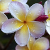 happy easter/passover/day/evening!!!!!! (_aires_) Tags: macro canon droplets drops plumeria bokeh aires 100mm gotas frangipani suche limaperu 50d ires canonef100mmf28macrousm canoneos50d canon50d imagesforthelittleprince fleursetpaysages